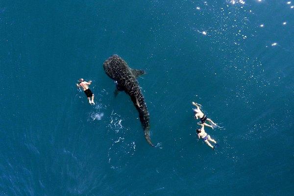 whale sharcks puerto princesa