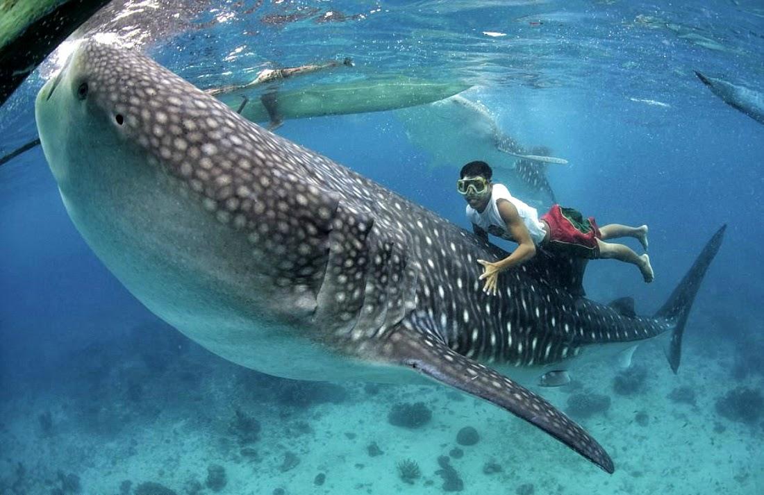 купание с Китовыми акулами, как добраться, туры по Филиппинам, китовые акулы, экскурсии к акулам