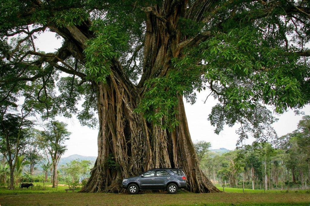 Negros tree
